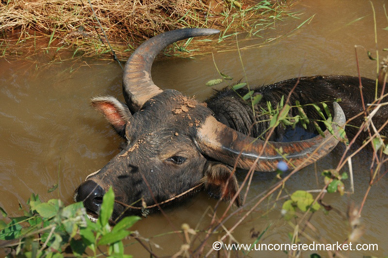 Buffalo Taking Bath - Inle Lake, Burma