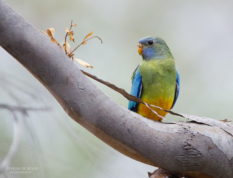 Scarlet-chested Parrot, imm, Gluepot, SA, Aus, Oct 2011-2.jpg