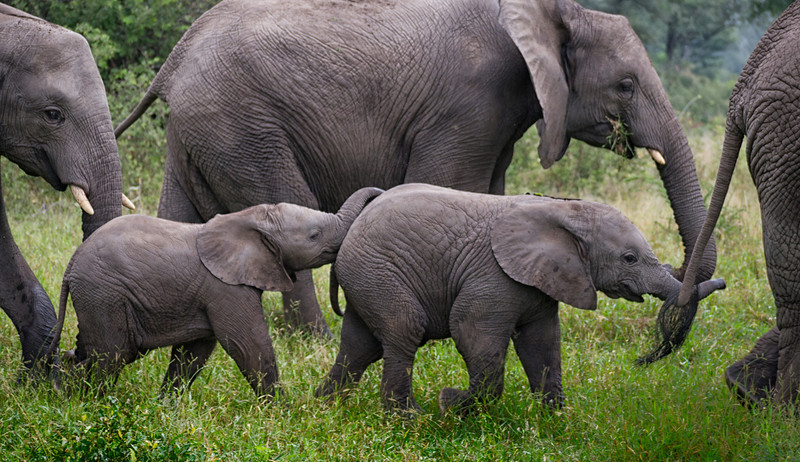 Mark-Fletcher-Baby Elephant Walk.jpg