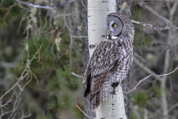 3-14-16 Great Gray Owl - Pt. 2