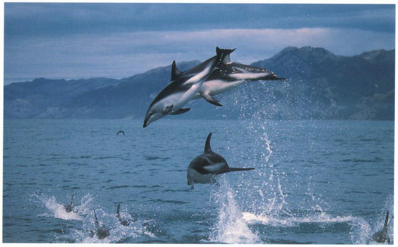 393_Kaikoura. Dusky Dolphins.jpg