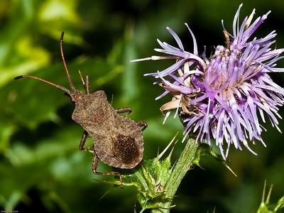Squash Bug (Coreus marginatus)