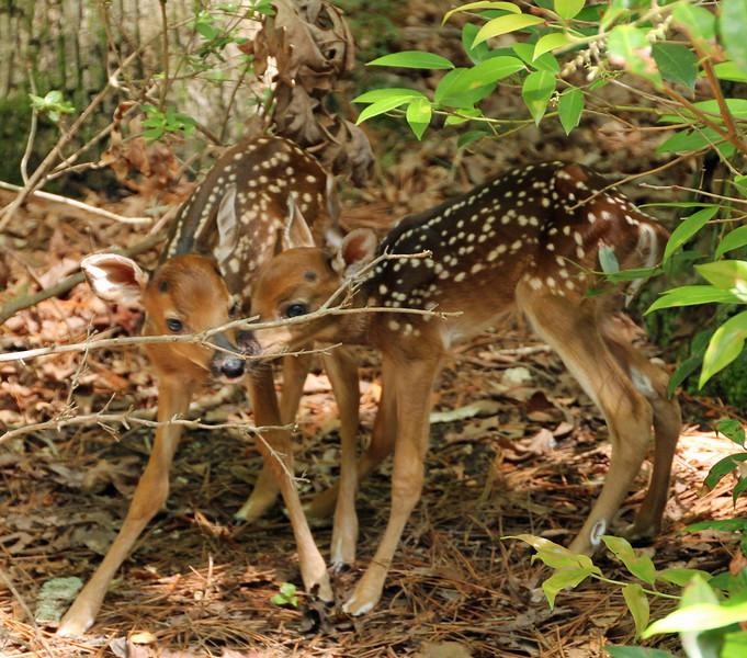 Two new fawns