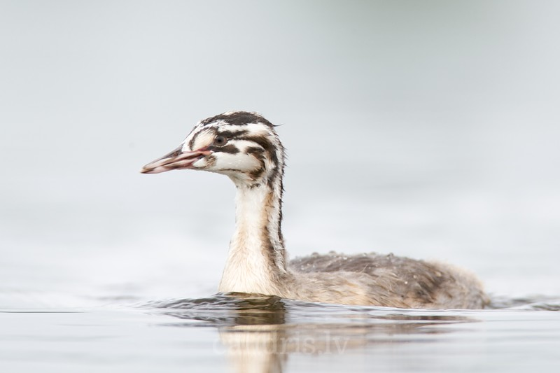 Great Crested Grebe (juv.)