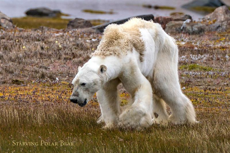 01-starving-polar-bear-CGM_Archimedes_2017_02072-2.jpg