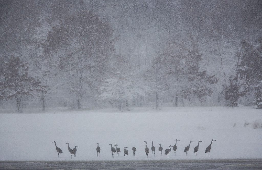 . BARABOO, WI -DECEMBER 20: Sandhill Cranes ride out the storm on the banks of the Wisconsin River December 20, 2012 in Baraboo, Wisconsin. The State Patrol had warned motorists to stay home as a paralyzing winter storm bore down on Wisconsin, the first significant snowstorm to hit southern Wisconsin in two winters.  (Photo by Tom Lynn/Getty Images)