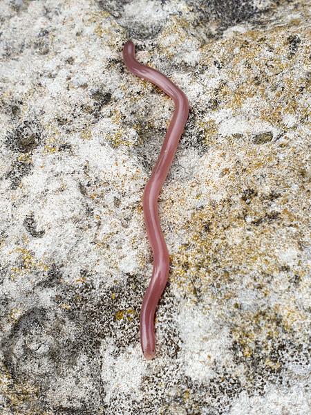 20190914 Delalande's Beaked Blind Snake (Rhinotyphlops lalandei) from Melkbosstrand, Western Cape
