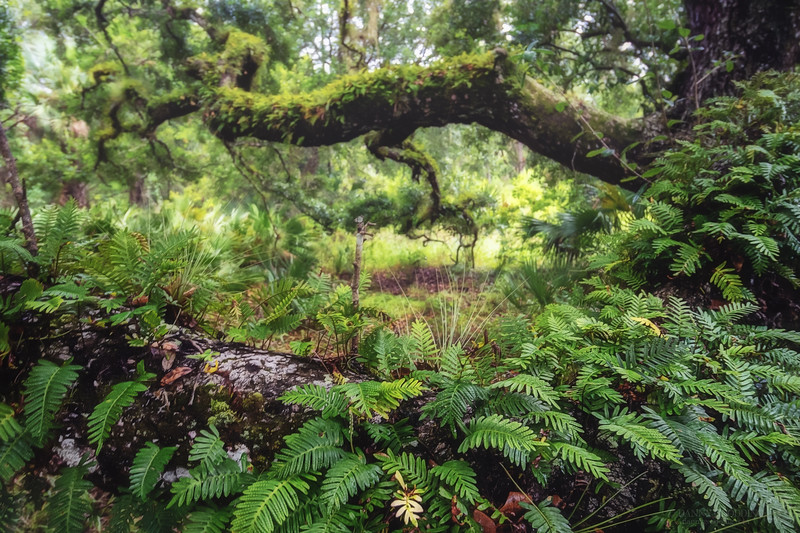 Resurrection ferns on an oak branch