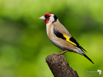 Goldfinch in Golden Light
