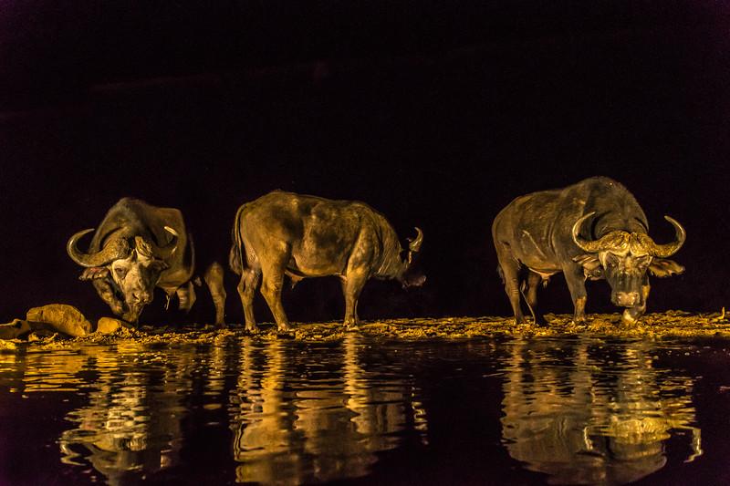 Water Buffalo Night Hide-9223.jpg