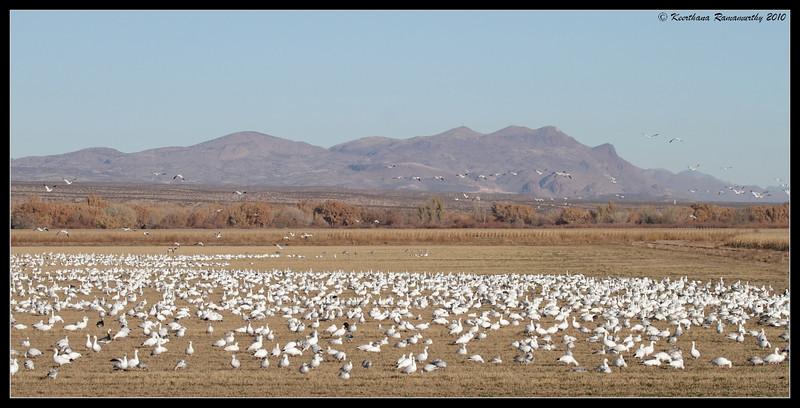 Snow Geese in the corn fields, Bosque Del Apache, Socorro, New Mexico, November 2010