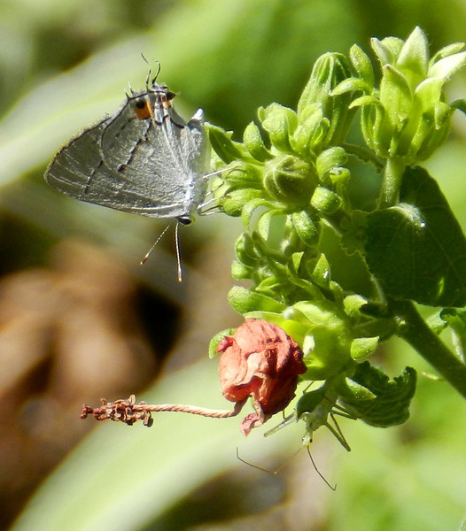 Gray Hairstreak on Bishop's Hat3.jpg