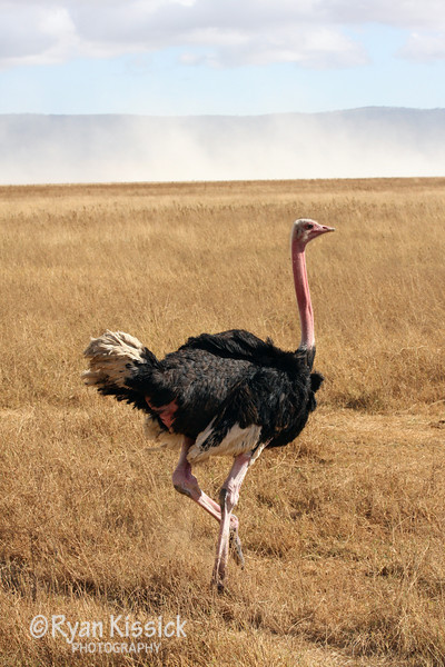 Male ostrich with bright pink coloring