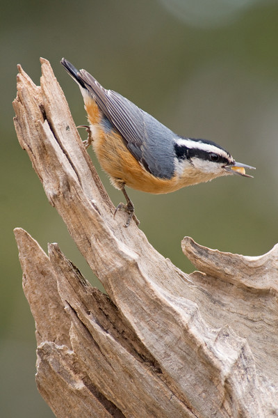 Nuthatch - Red-breasted - male - Dunning Lake, MN - 01