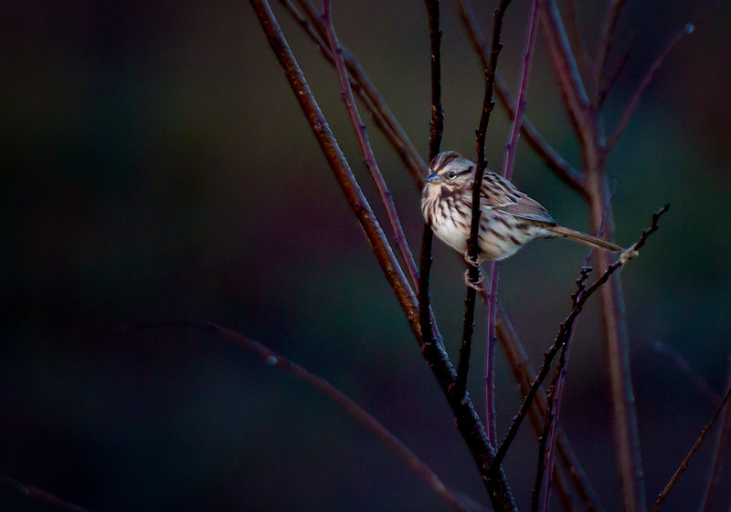 11.16.17 - Beaver Lake Fish Nursery: Song Sparrow