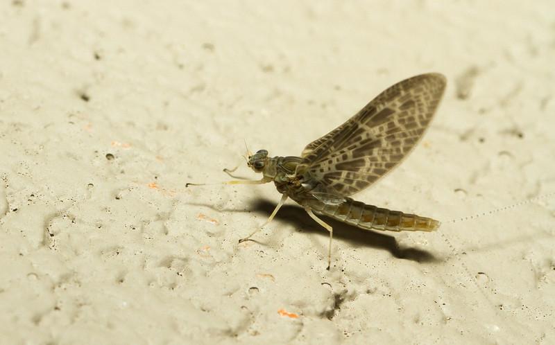 Mayfly (Ephemeroptera) from Grand Teton National Park in Wyoming.