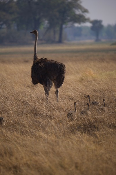 Mother ostrich and chicks, Shinde camp, Botswana