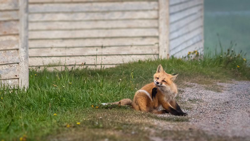fox without car scratching 2152-.jpg