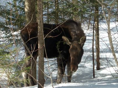 This moose hung around the bridge just below the old Poczobut Camp, between RD 16 and RD 65! This was the weekend of March 9and 10 2013.