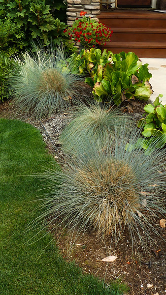 had to replace the Idaho Blue Fescue in the middle because the original one was invaded by lawn grasses.