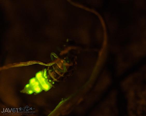 Persian Silk Tree - Glow worm