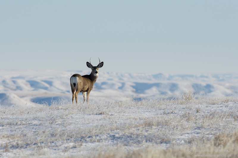 Mule deer in snow-covered prairie. Grasslands National Park
