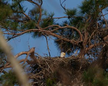 Baytown Bald Eagles_Behavior on 022810