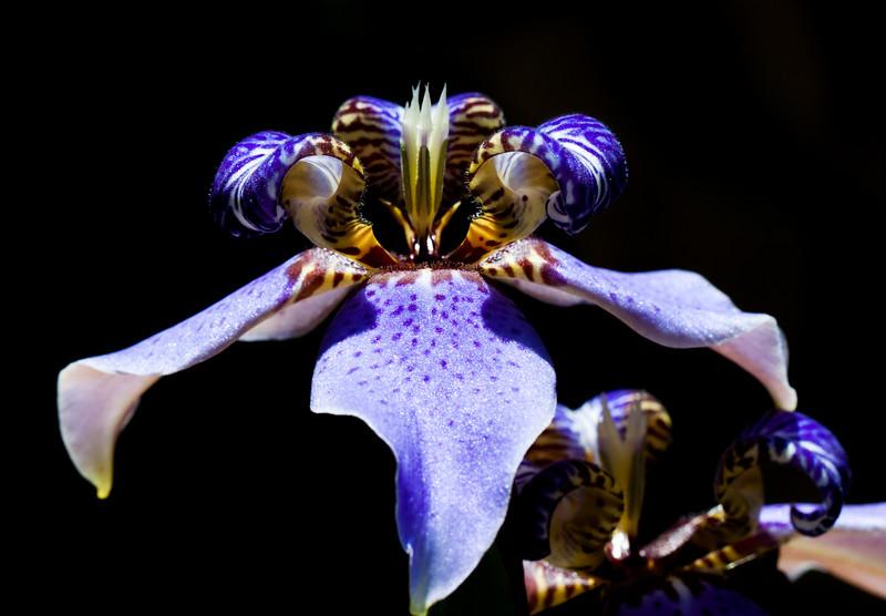 blue tropical iris