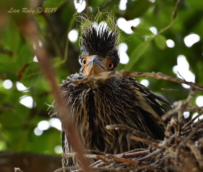 Night Heron Nestling  - 6/24/2019 - Imperial Beach Sports Park