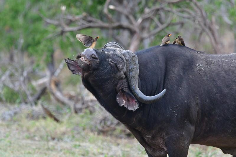 Cape Buffalo15.jpg