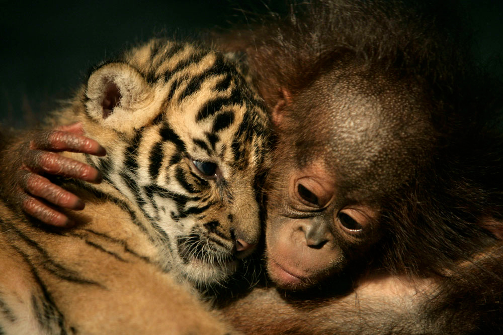 Description of . Dema (male) the 26-day-old endangered Sumatran Tiger cub cuddles up to 5-month-old female Orangutan, Irma at the 'Taman Safari Indonesia' Animal Hospital, on February 26, 2007 in Cisarua, Bogor Regency, West Java, Indonesia. Irma and another orangutan have been rejected by their mothers while two Sumatran tiger-cubs (including Dema) also born in the hospital, have also been rejected by their mother Cicis and are being looked after by staff at the Animal Hospital. (Photo by: Dimas Ardian/Getty Images)