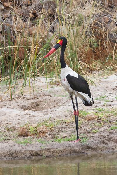 Saddle-billed Stork - Tarangire National Park, Tanzania