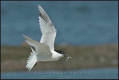 Sandwich Tern - Beccapesci ( Sterna sandvicensis ) - Texel island ( Nederland )  &  Po delta wetlands ( Italy )