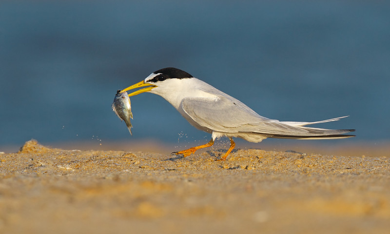 Little Tern fish MASTER.jpg