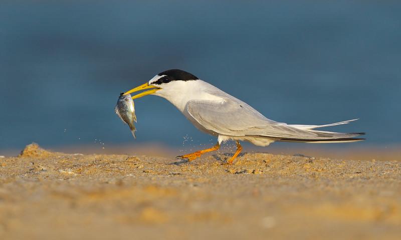 Little Tern fish MASTER.jpg