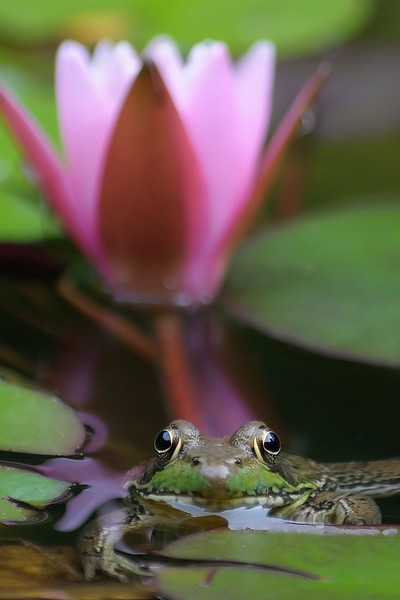 Frog with Lily