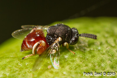 Red-bum Chalcid Wasp