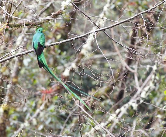 Resplendent Quetzal Los Quetzales Lodge Panama