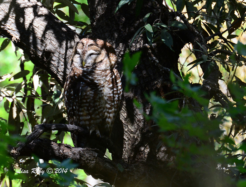 Mexican Spotted Owl - 4/21/2014 - Miller Canyon, Miracle Valley, Arizona