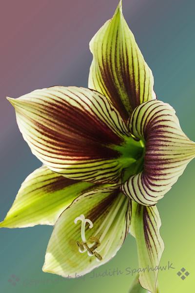 Amarylis Bloom ~