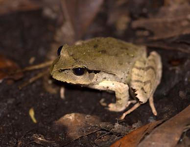 Lechriodus - Black-soled Frog
