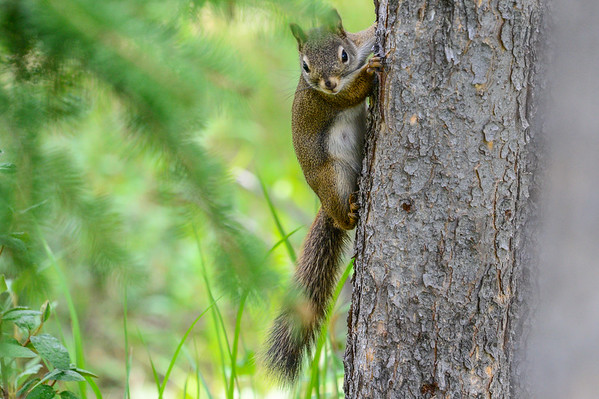 6-24-15 Red Squirrel