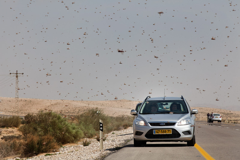 . Israelis drive through a swarm of locusts arriving over the Negev desert near the Egyptian border on March 6, 2013 in Kmehin, Israel. Egypt and Israel have been swarmed with millions of locusts over the past few days causing wide spread disturbances.  (Photo by Uriel Sinai/Getty Images)