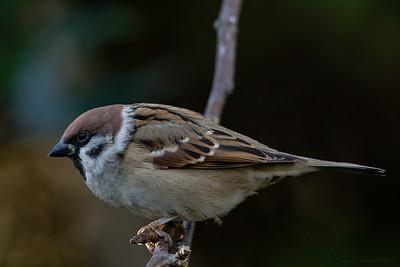 Pilfink (Eurasian Tree Sparrow)