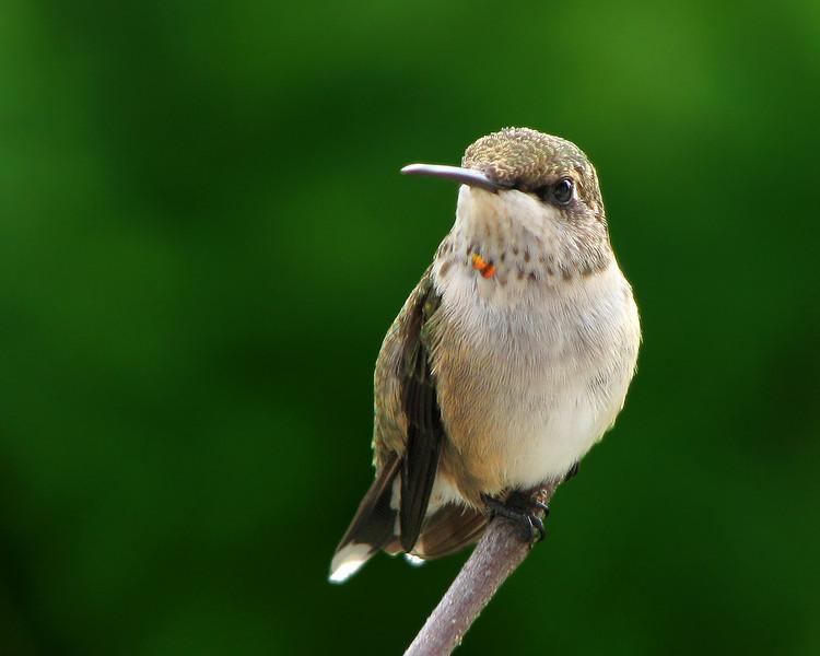 hummingbird_juvie_3962.jpg