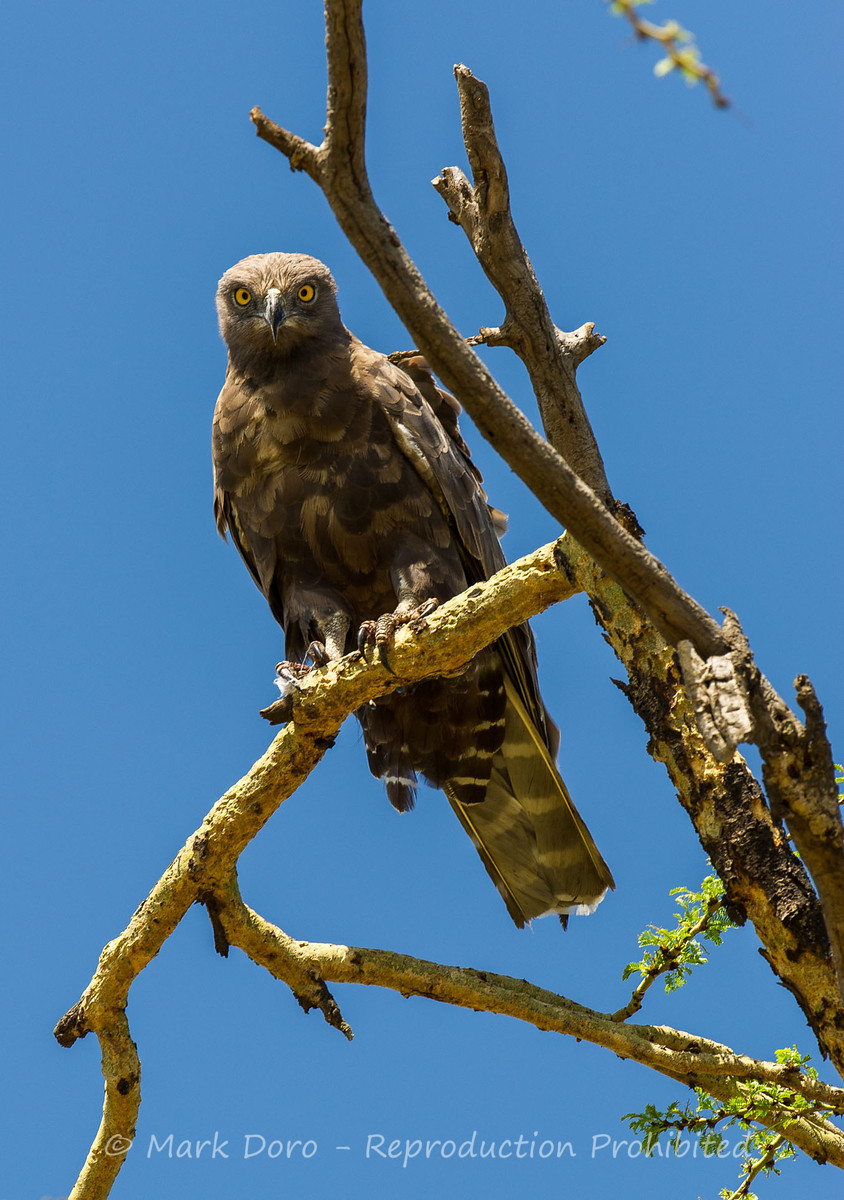 Brown Snake Eagle, Serengeti, Tanzania
