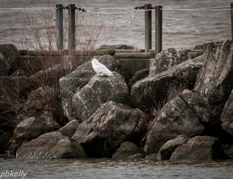 12-22.  Went to Lorain marina with Jeanne Williams to see Snowy Owls.  Also saw another at the Lorain County Airport.