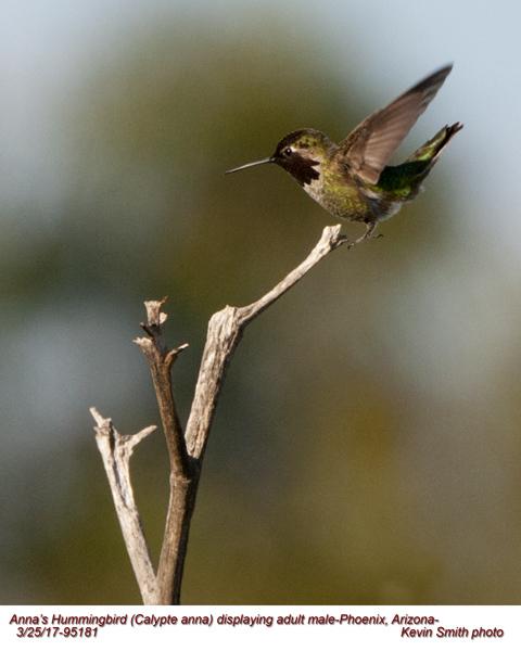 Anna's Hummingbird M95181.jpg