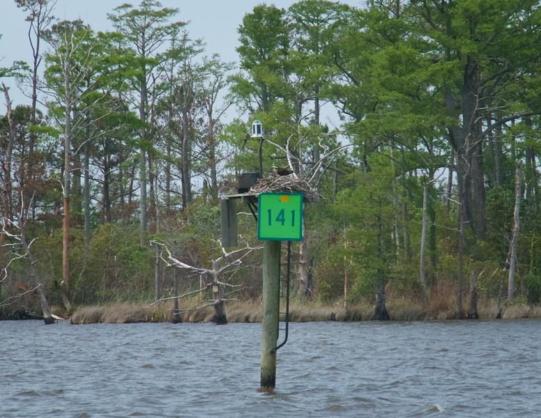 Almost every  ICW marker has a resident Osprey home.