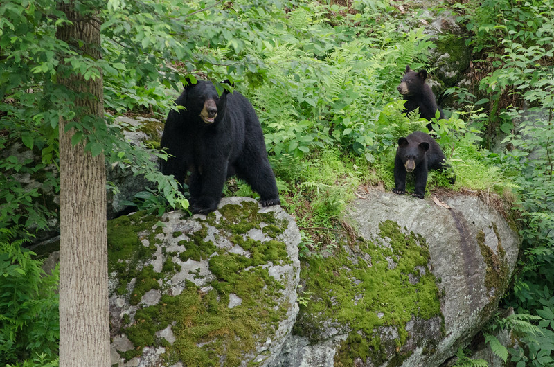 Black Bear in Yard-88-38.jpg